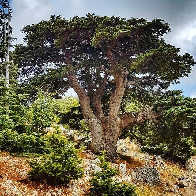 A Cedar like no other cedar cedarsforest cedartree old chouf barouk ... (Arz el Bâroûk)