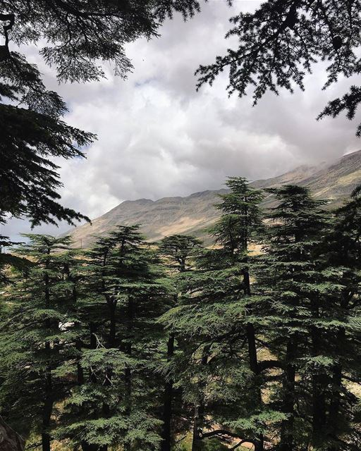 Cedars of God 🌲 ... (Bcharré, Liban-Nord, Lebanon)