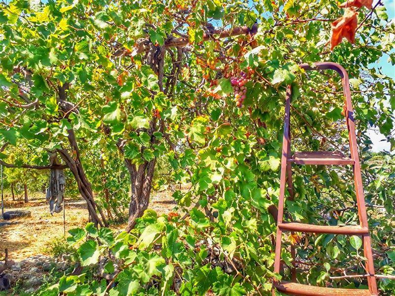 rasnhash batroun lebanon kalawounphoto red grapes 🍇 ... (Ra'S Nhash, Liban-Nord, Lebanon)