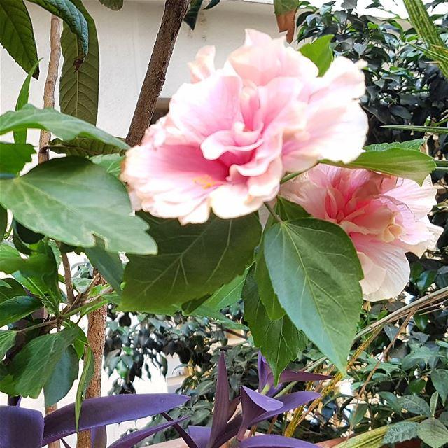 Hibiscus in Mar Mikhael, Beirut. latergram hibiscus marmikhael ... (Mar Mikhael-Armenia The Street)
