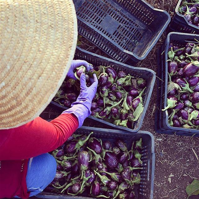 غنيلي عن الباتنجان 🍆 wheninnorth batenjen farmer lebanon farming ... (الحدود السورية اللبنانية / العريضة)