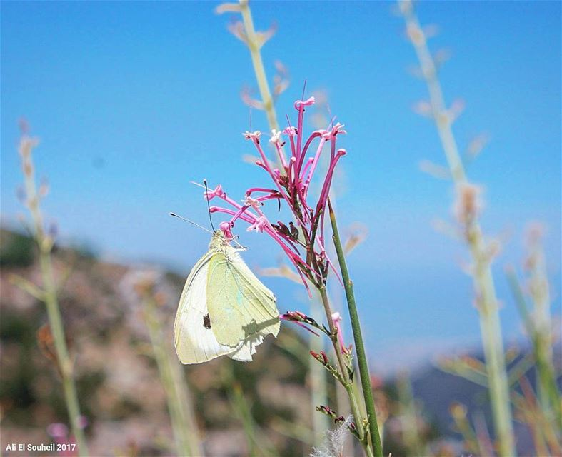 tb ehden butterfly closeup macro northlebanon colors flower ... (Ehden, Lebanon)