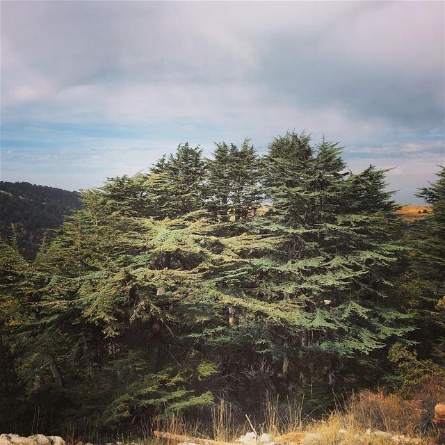 lebanon batroundistrict tannourine tannourinecedarreserve ... (Arz Tannoûrîne)