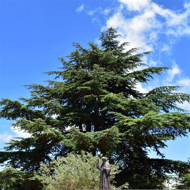 The trees of the Lord are full of sap; the Cedars of Lebanon, which he has... (Annâya, Mont-Liban, Lebanon)