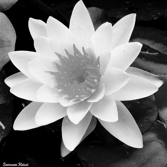 lotus blackandwhite monochrome flower today ...