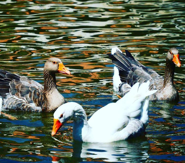 Hasbaniriver duck nature southlebanon livelovelebanon❤️ hasbani...