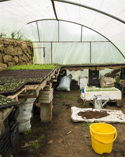 Interior of the salad nursery. Working with seedlings is really gratifying, (Lebanon)