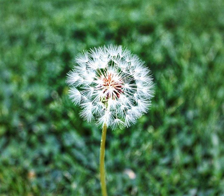 Make a wish 💫.....@canon_photos @canonme @canonusa dandelion ...