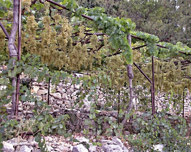 I heard it through the grapevine, I'm just about to lose my mind, Honey,... (Douma, Liban-Nord, Lebanon)