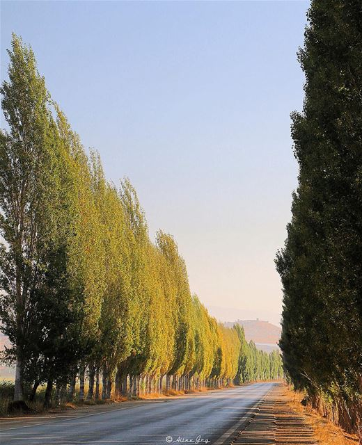 🌳Trees•Road 🌳 morning sunrise nature outdoor landscape road bekaa... (`Ammiq, Béqaa, Lebanon)