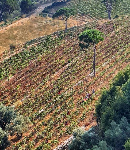 @marmoussa vineyard livelovelebanon insta_lebanon lebanoninapicture...