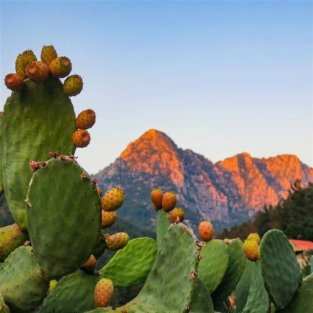 Sunkissed Fruits and Mountains  opuntia  pricklypear  fruits  sunset ...