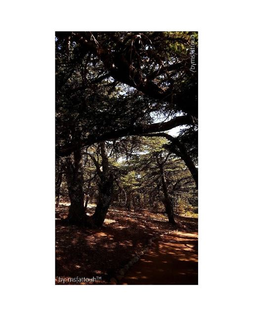 """Proud to be Lebanese..""""Cedrus libani"""" or the Lebanon Cedar is mentioned..."""