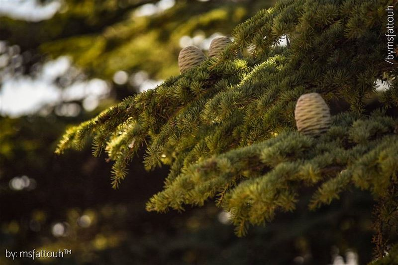 Cedrus libani cones are barrel-shaped and have smooth scales. They are 6-12