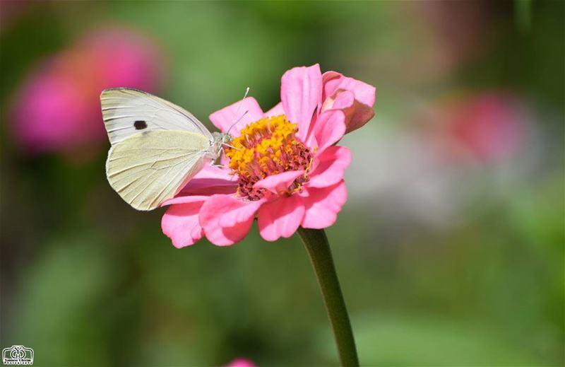 Good morning my friends ☺ butterfly flower garden nature lebanon ...