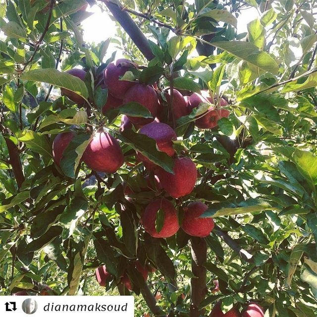 Repost @dianamaksoud (@get_repost)・・・It's harvesting time🍎! harvest ...