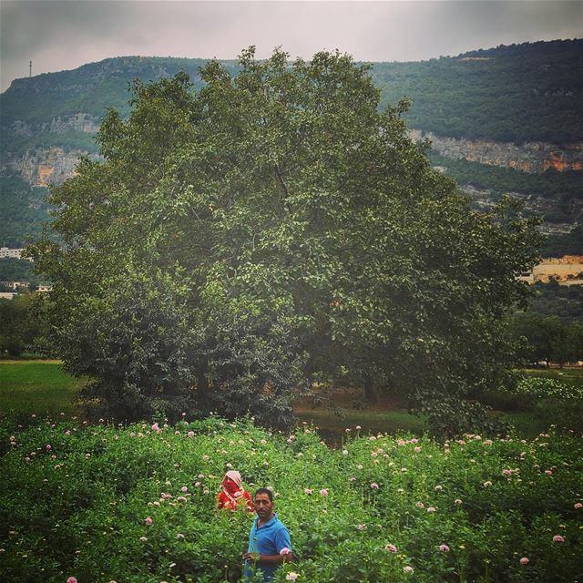 lebanon kfarhelda tree nature plantation village villagelife ... (Kfarhilda, North)