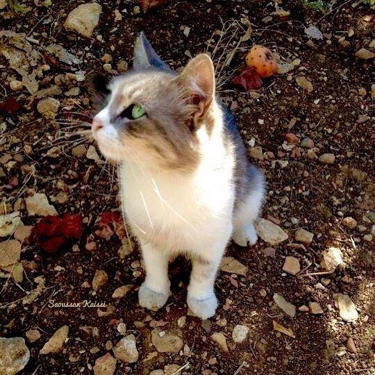 cat greeneyes beautiful ...