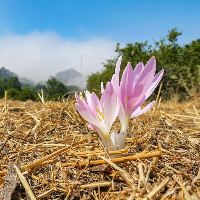 Colchicum Autumnale crocus colchicum flower meadow september summer ...