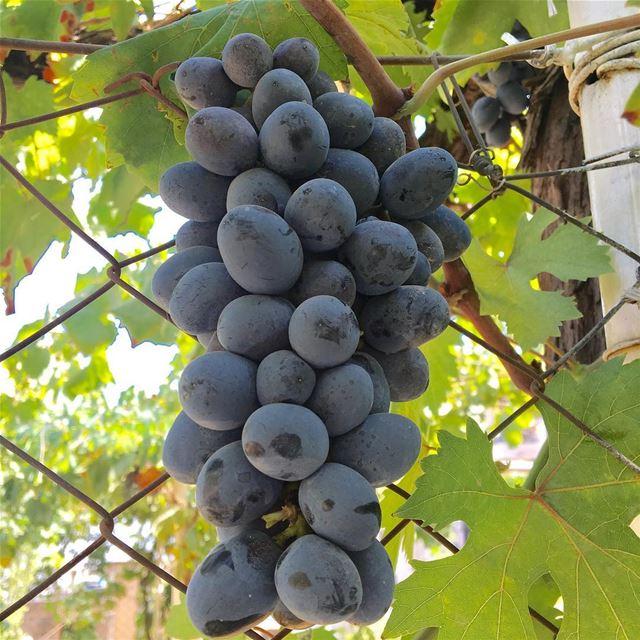 Grapes 🍇. grapes fruit zahle zahleh lebanon livelovelebanon... (Zahlé District)