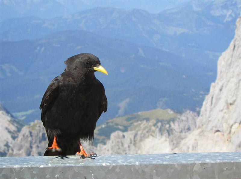 alpine crow 🐦 alpes dachstein perfect mountains austria ... (Dachstein Mountains)