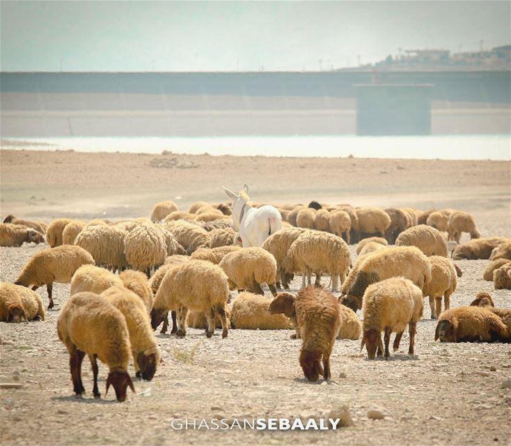 Lake Qaraoun - Lebanon sheeps sheep lake donkey lebanon bekaa ... (Lake Qaraoun)