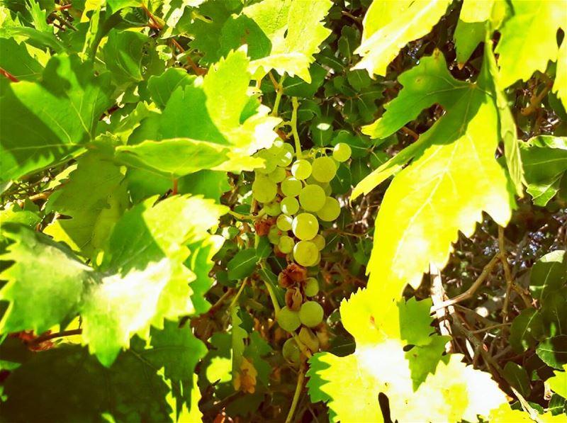 grape rasnhash batroun lebanon kalawounphoto mycountrylebanon ... (Lebanon)