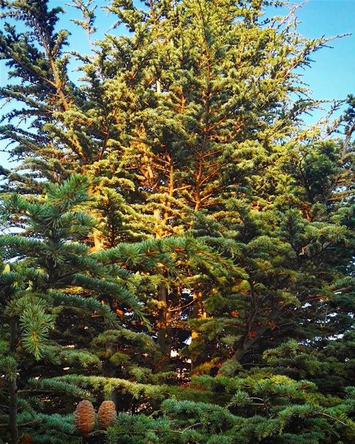 lebanon nature cedar cedartree trees green love summer ... (Mount Lebanon Governorate)