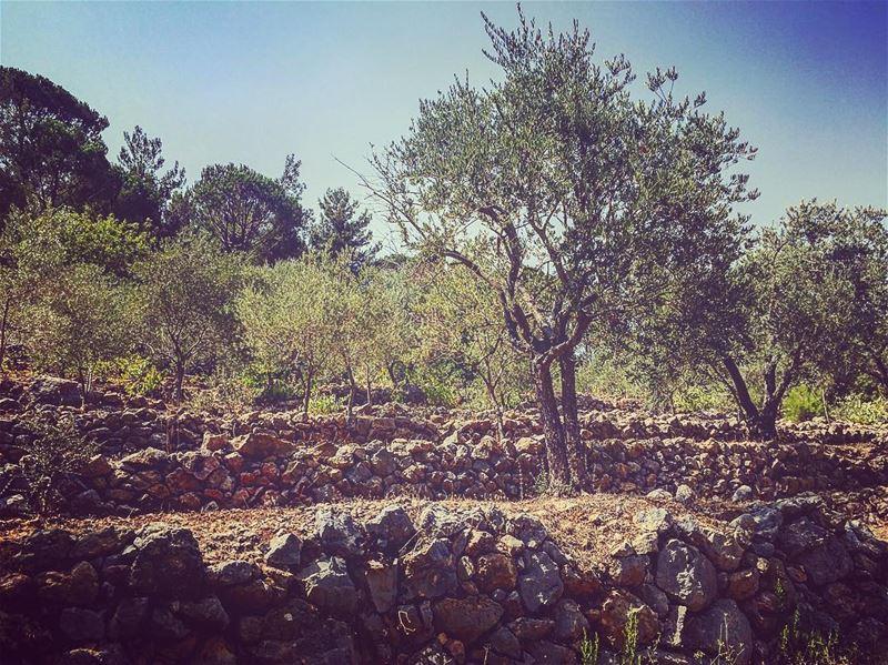 fall season olive lebanon roadtrip sunnyday him tags4likes nature...