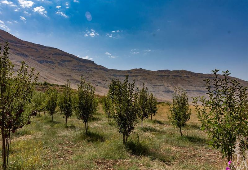Apple field between cedars and hassroun elevation 1650 meters ... (Hasroun)