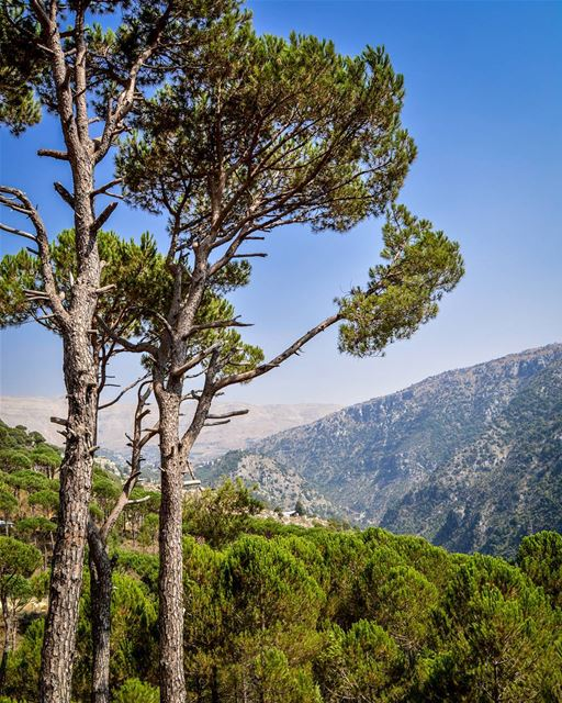 .The Beautiful pine forest of Baskinta. And the clear blue skies of the... (Baskinta, Lebanon)