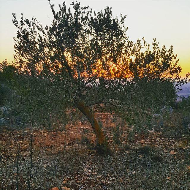 yaroun southlebanon visitlebanon lebanoninapicture nature olivetree ...