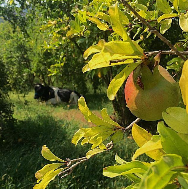 It just needs a rest under the pomegranate trees 💆🏻 cow ... (Bisri, Al Janub, Lebanon)
