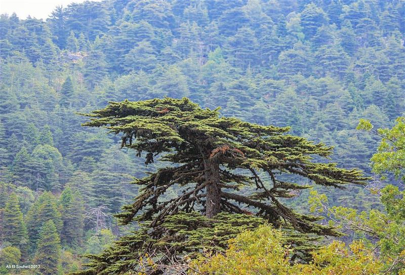 tb  cedars  ehden  forest  northlebanon  tree  lebanon  colorful ... (Ehden, Lebanon)