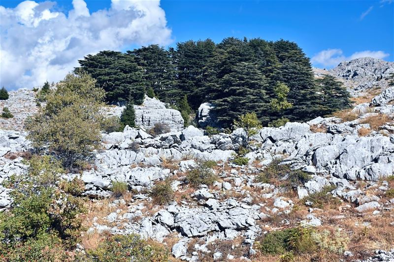 This setting of a small number of large trees of the Jaj Cedar Reserve is... (Jaj, Mont-Liban, Lebanon)