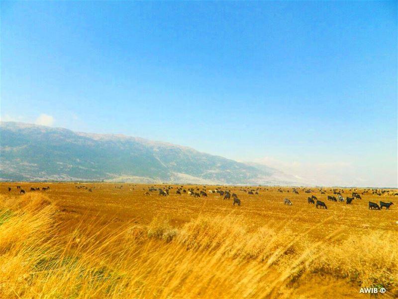 good evening sheep streetphotography lebanonspotlights ... (Beqaa)