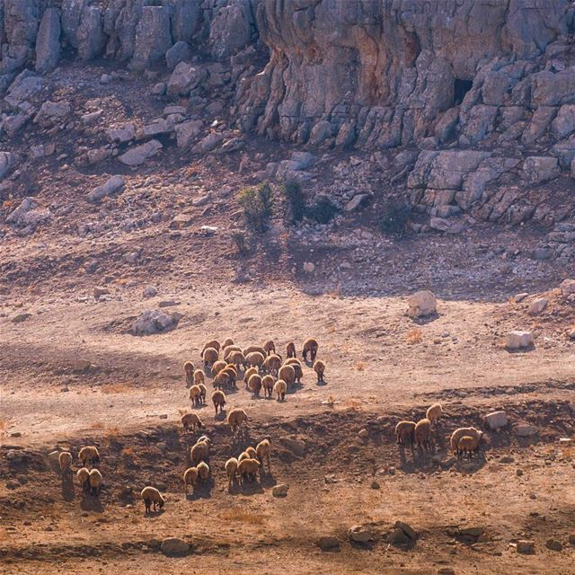 Qartabiac sheep 🤓 lebanon ... (Qartaba)