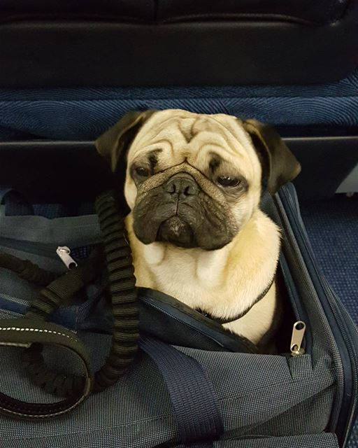Summer vacation over. Heading back home . Benji the travelling Pug . mea...