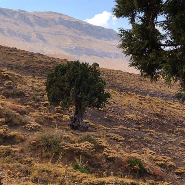 Great things take time to grow. lebanon lebanon highlands tree ...