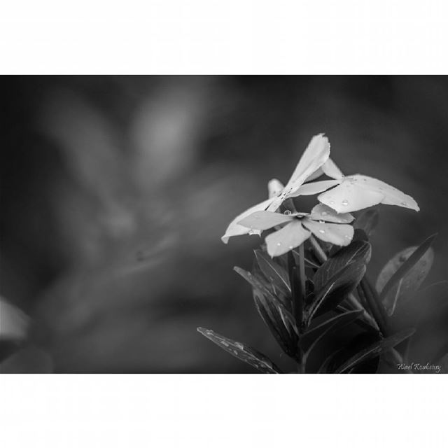 bnw flowers rain drops blackandwhite photography photoofday ...