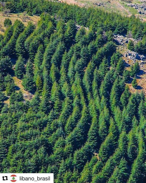 Repost @libano_brasil (@get_repost)・・・A bela floresta de cedros que... (Bâroûk, Mont-Liban, Lebanon)