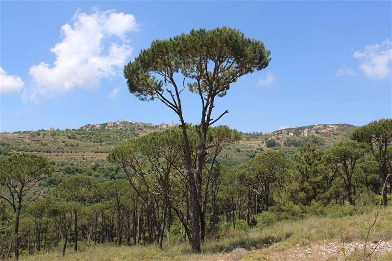 pinetrees  naturelovers  naturepic  pineforest  jizzine  livelovesouth ...