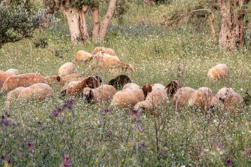 lamb lambchops lambrack grilledlamb bbqlamb nzlamb bbq bbqporn ... (North Governorate)