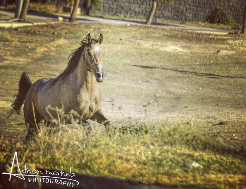 الفرس بدا خيالا horses horse horsesofinstagram TagsForLikes ... (Biré, Liban-Nord, Lebanon)