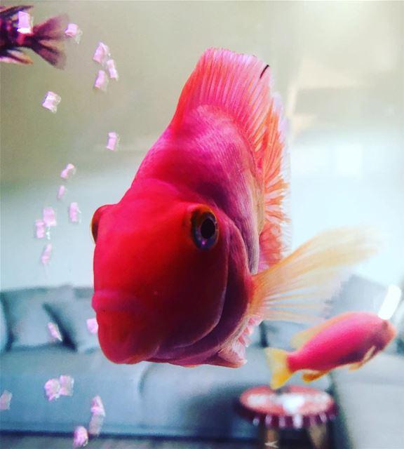 fish aquarium animal world water home red lebanon mood tags4likes...