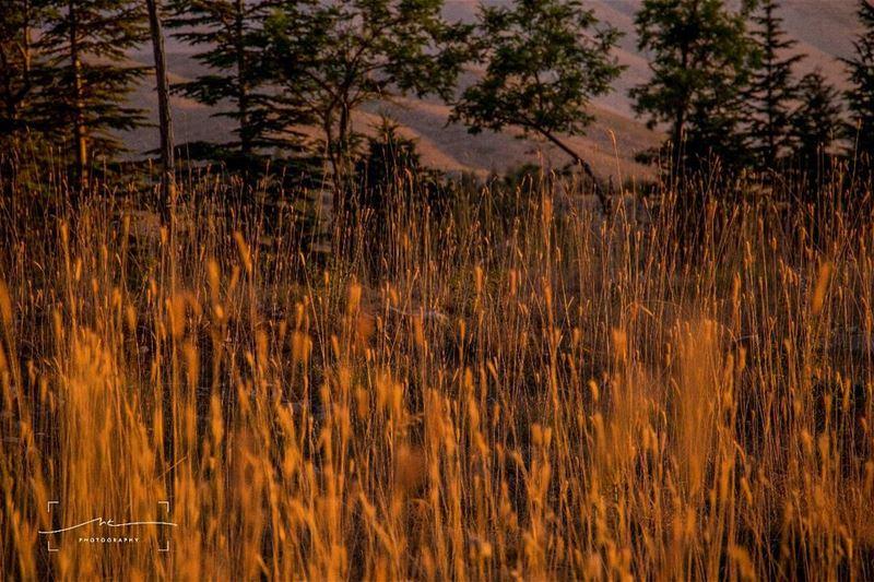 Cold weather, gold... (Bcharre El Arez بشري الأرز)
