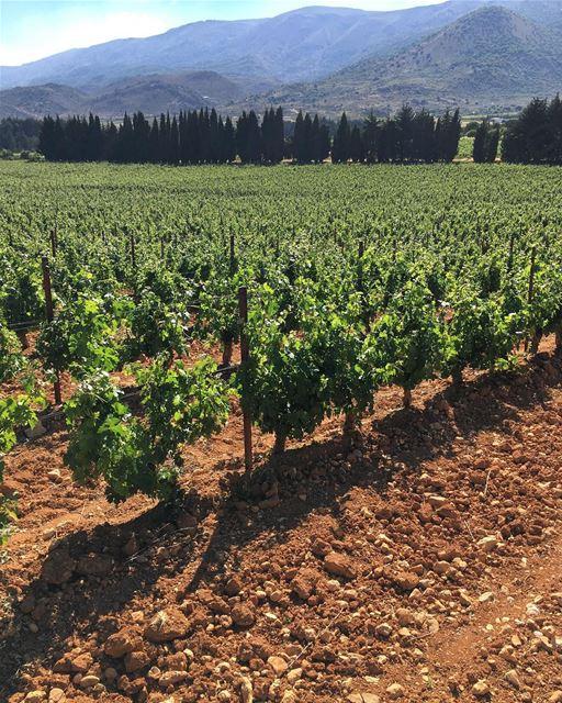 Alguns dos melhores vinhos do Líbano nascem aqui, nesta esplendorosa planíc (Château Kefraya)