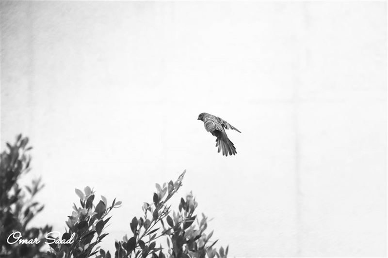 Freedom flying bird freedom nikon d7200 o_saad nature naturelover ...