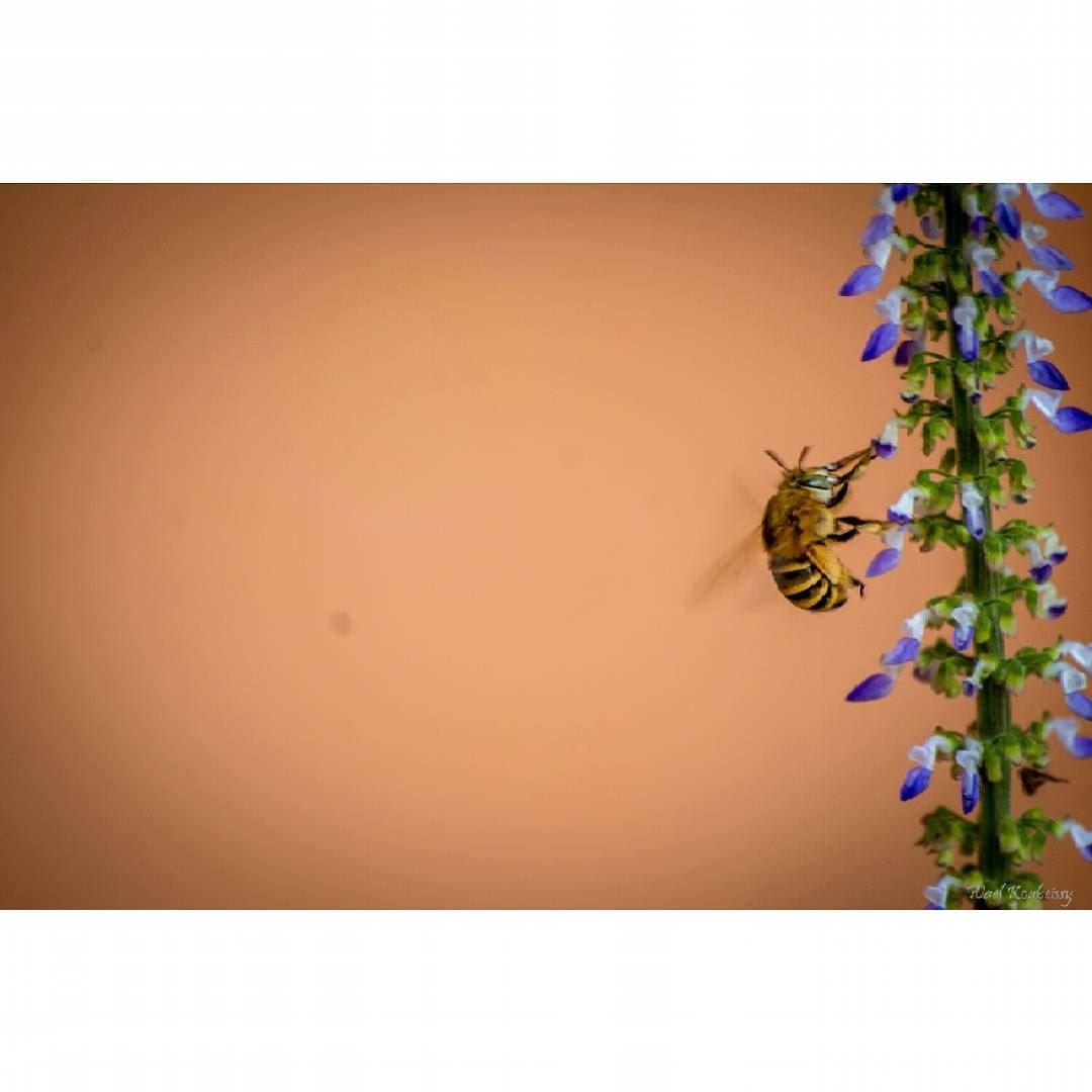 nature flower bee honeybee flower honeybees insectlife natureshots...