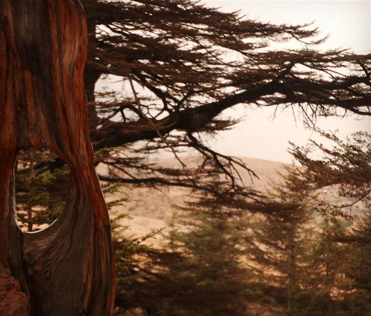 The Cedars of Lebanon. nature cedars cedar forest lebanon ... (The Cedars of Lebanon)